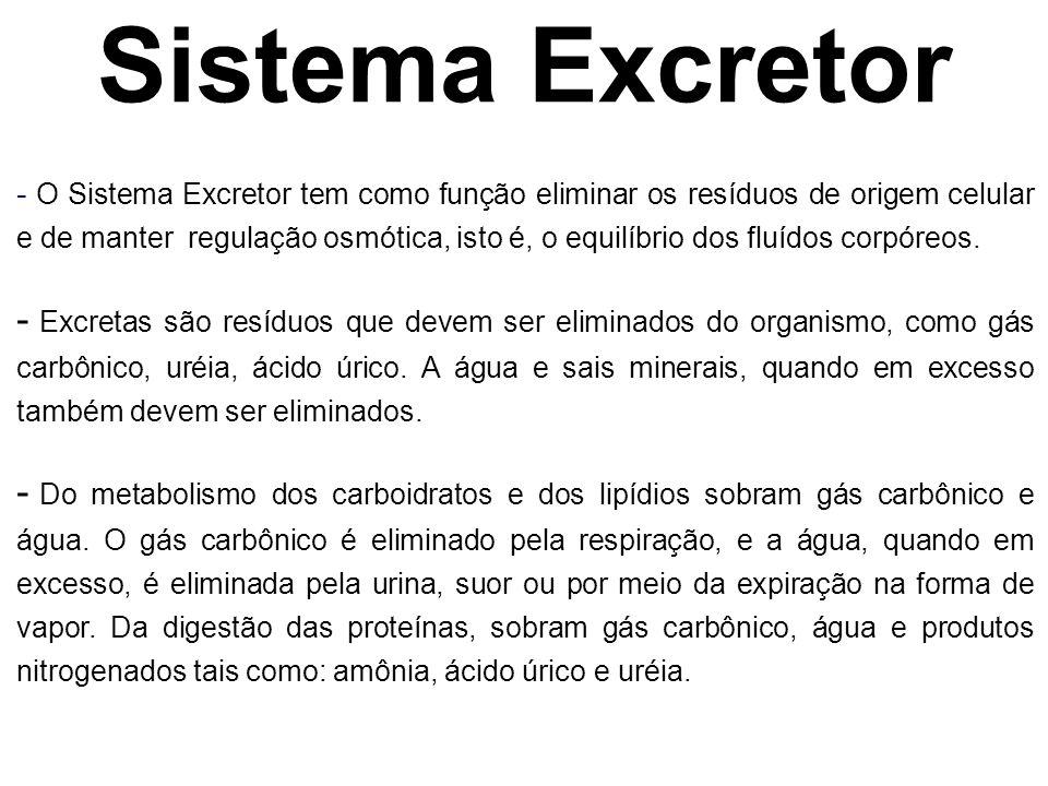 Sistema Excretor - O Sistema Excretor tem como função eliminar os resíduos de origem celular e de manter regulação osmótica, isto é, o equilíbrio dos