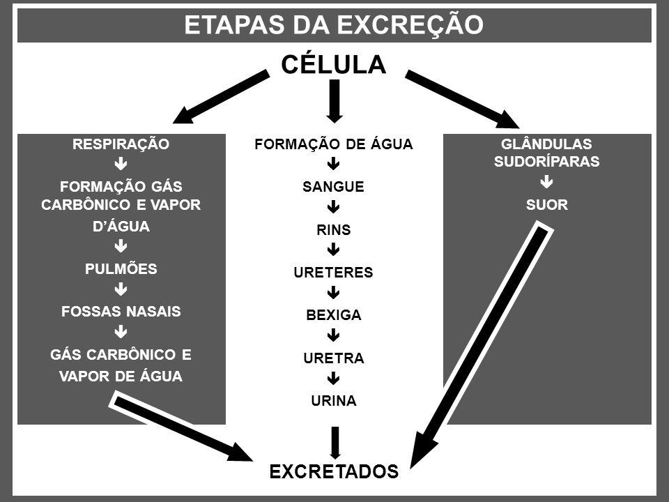 EXCRETADOS GLÂNDULAS SUDORÍPARAS SUOR FORMAÇÃO DE ÁGUA SANGUE RINS URETERES BEXIGA URETRA URINA RESPIRAÇÃO FORMAÇÃO GÁS CARBÔNICO E VAPOR DÁGUA PULMÕE