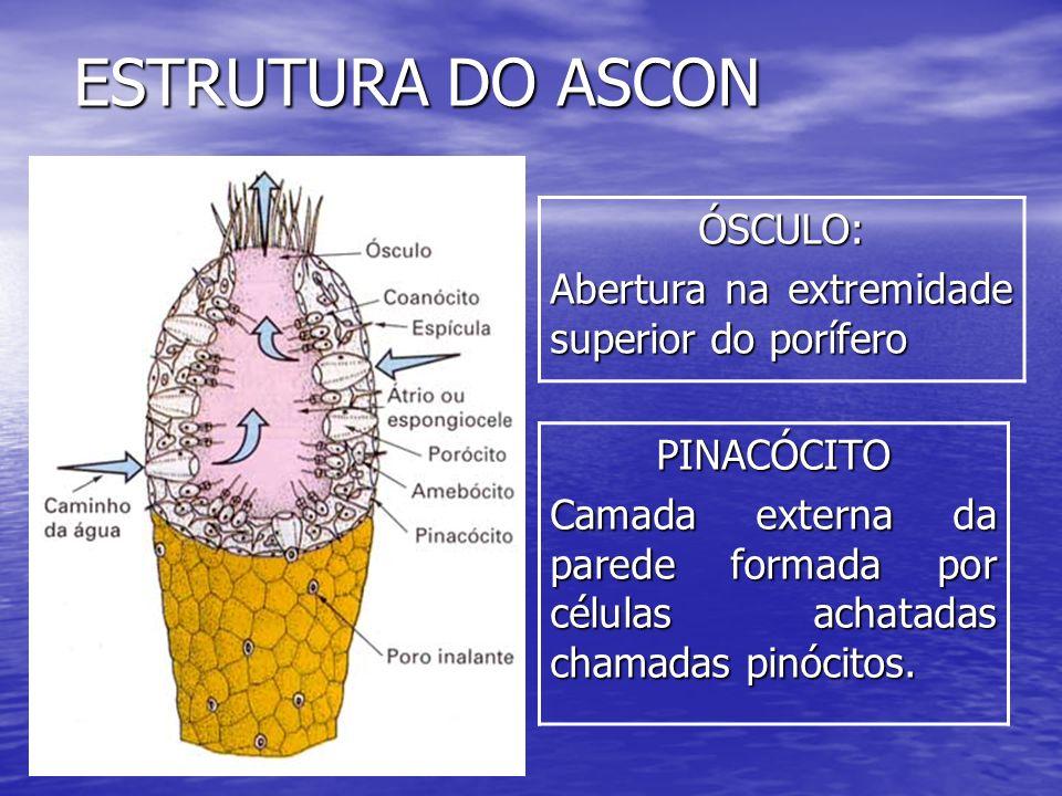 ESTRUTURA DO ASCON ÓSCULO: Abertura na extremidade superior do porífero PINACÓCITO Camada externa da parede formada por células achatadas chamadas pin