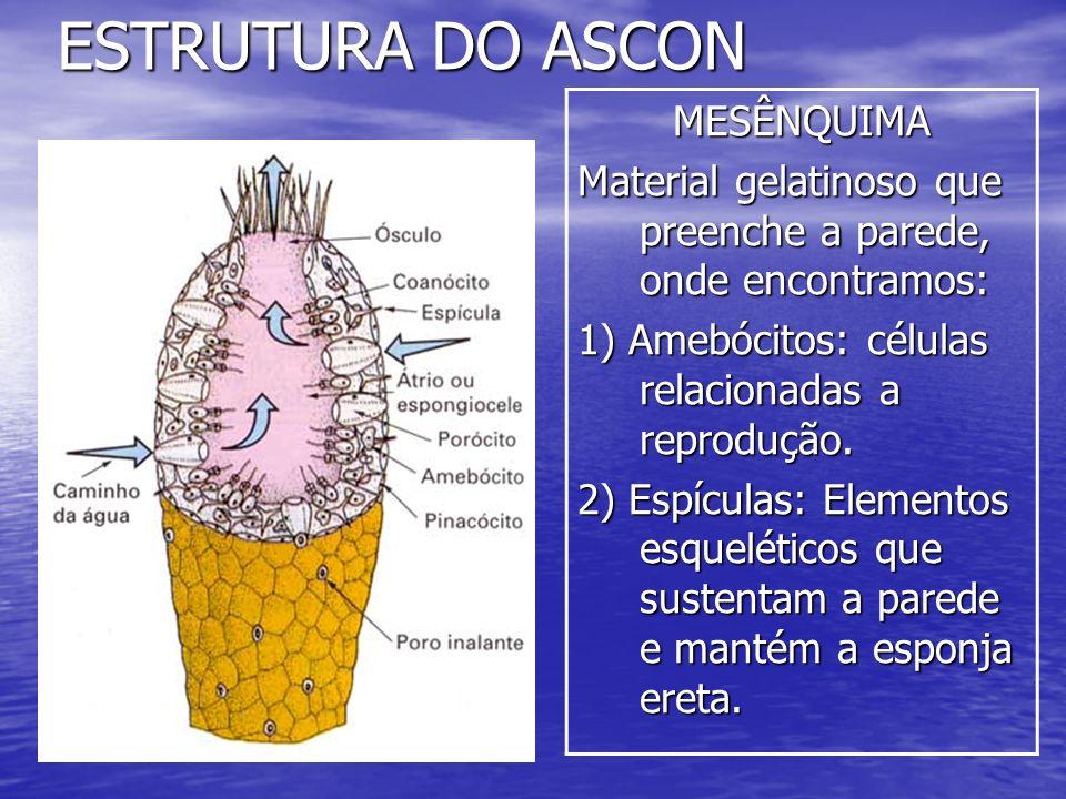 ESTRUTURA DO ASCONMESÊNQUIMA Material gelatinoso que preenche a parede, onde encontramos: 1) Amebócitos: células relacionadas a reprodução. 2) Espícul