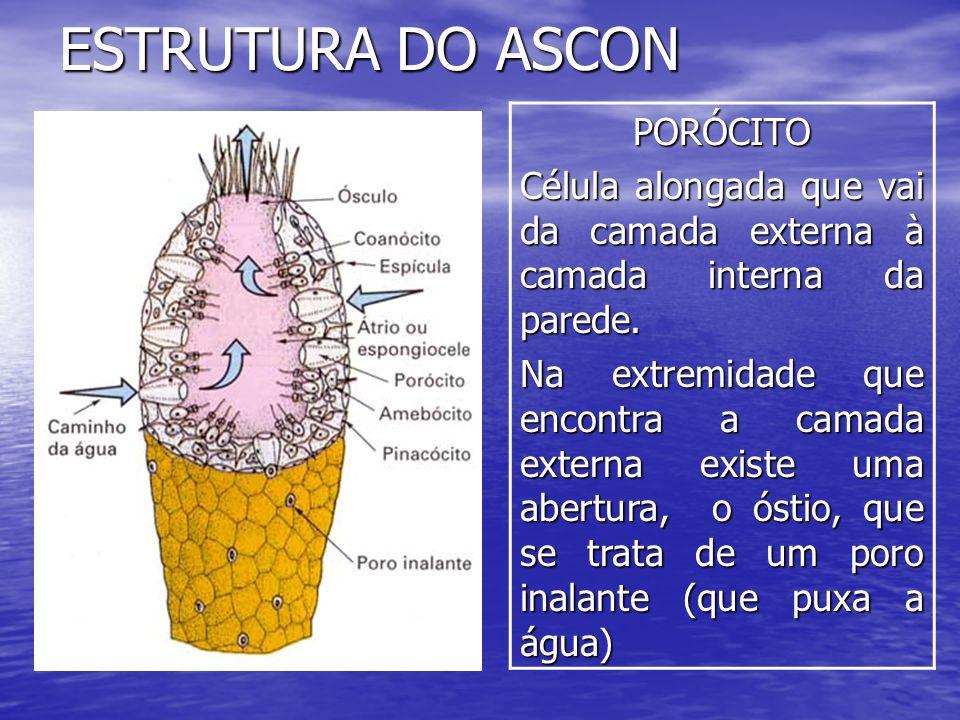 ESTRUTURA DO ASCONPORÓCITO Célula alongada que vai da camada externa à camada interna da parede. Na extremidade que encontra a camada externa existe u