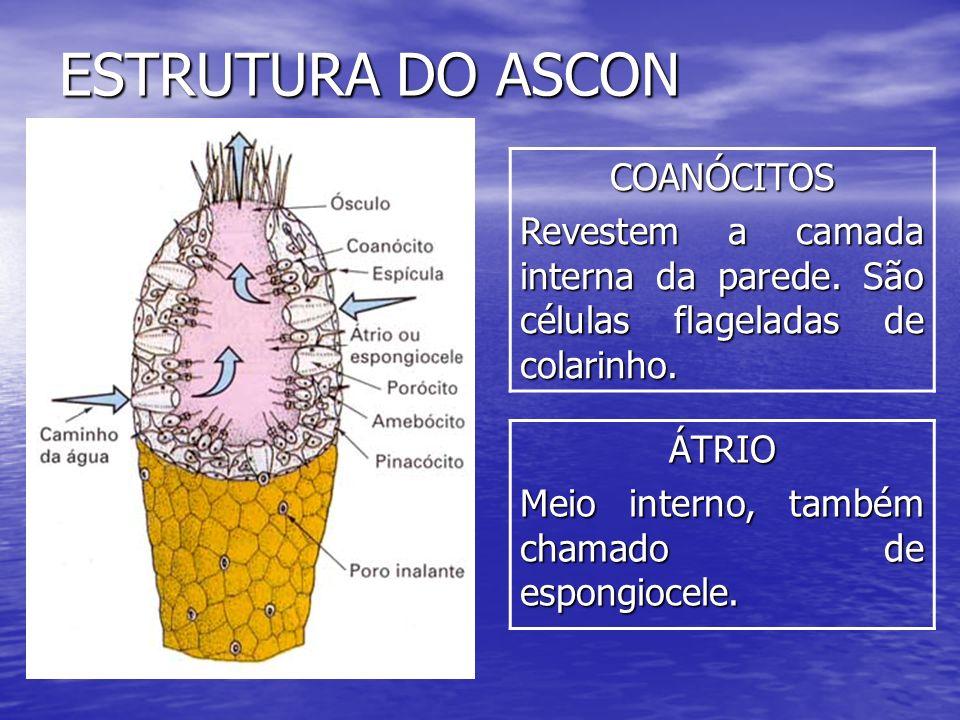 ESTRUTURA DO ASCON COANÓCITOS Revestem a camada interna da parede. São células flageladas de colarinho. ÁTRIO Meio interno, também chamado de espongio