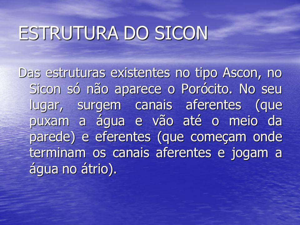 ESTRUTURA DO SICON Das estruturas existentes no tipo Ascon, no Sicon só não aparece o Porócito. No seu lugar, surgem canais aferentes (que puxam a águ