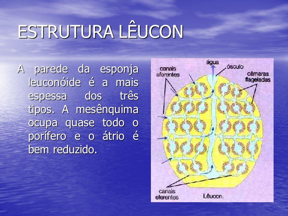 ESTRUTURA LÊUCON A parede da esponja leuconóide é a mais espessa dos três tipos. A mesênquima ocupa quase todo o porífero e o átrio é bem reduzido.