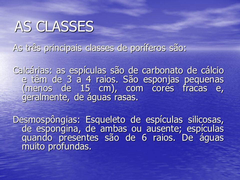 AS CLASSES As três principais classes de poríferos são: Calcárias: as espículas são de carbonato de cálcio e têm de 3 a 4 raios. São esponjas pequenas