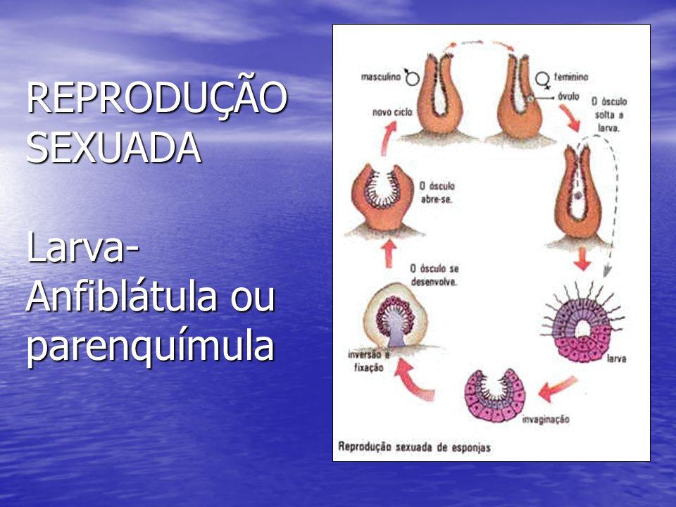 REPRODUÇÃO SEXUADA Larva- Anfiblátula ou parenquímula