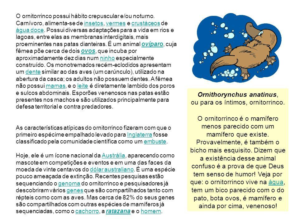 10 O ornitorrinco possui hábito crepuscular e/ou noturno. Carnívoro, alimenta-se de insetos, vermes e crustáceos de água doce. Possui diversas adaptaç