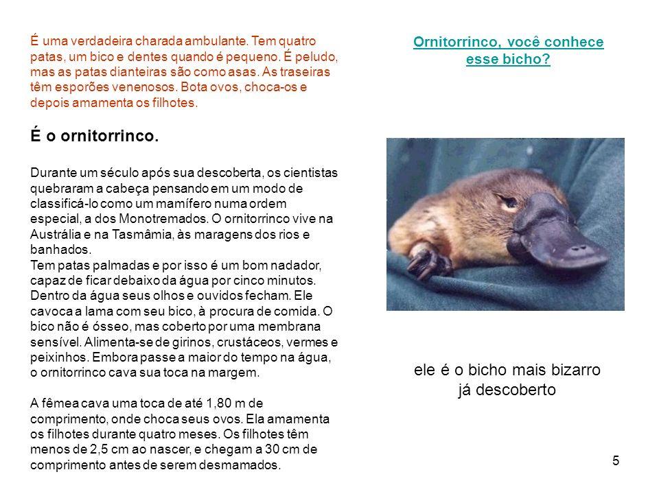 6 Ornitorrinco O ornitorrinco tem o nome científico Ornithorhymchus anatinus, que significa nariz de ave .