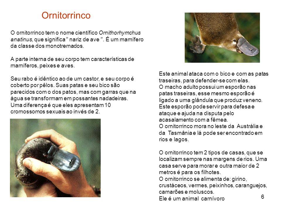 6 Ornitorrinco O ornitorrinco tem o nome científico Ornithorhymchus anatinus, que significa