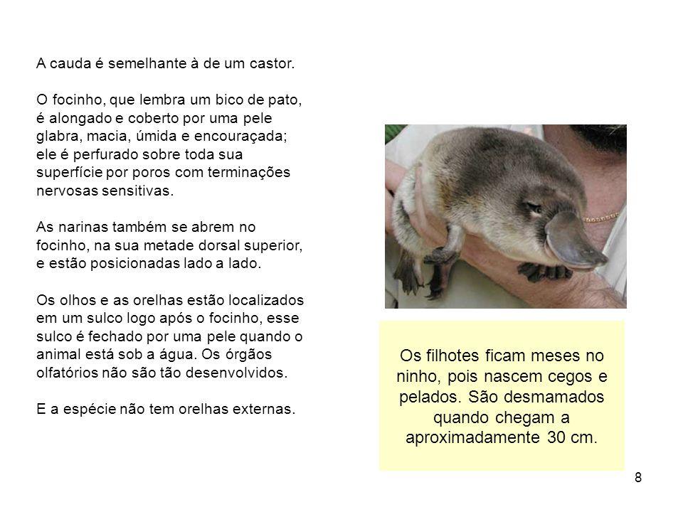 8 A cauda é semelhante à de um castor. O focinho, que lembra um bico de pato, é alongado e coberto por uma pele glabra, macia, úmida e encouraçada; el
