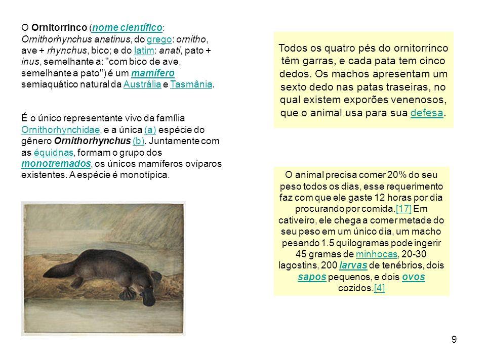 9 O Ornitorrinco (nome científico: Ornithorhynchus anatinus, do grego: ornitho, ave + rhynchus, bico; e do latim: anati, pato + inus, semelhante a:
