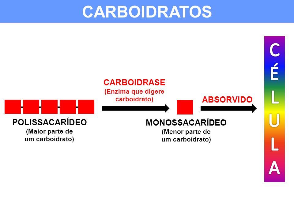ABSORVIDO CARBOIDRATOS POLISSACARÍDEO (Maior parte de um carboidrato) CARBOIDRASE (Enzima que digere carboidrato) MONOSSACARÍDEO (Menor parte de um ca