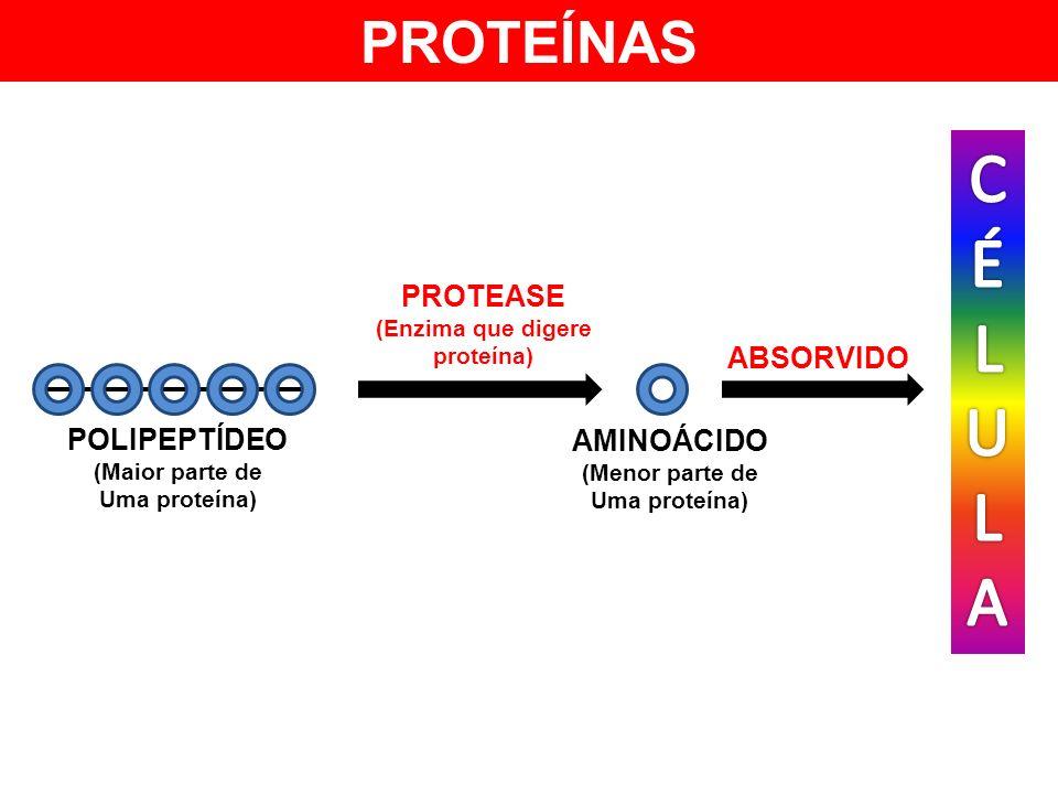 ABSORVIDO PROTEÍNAS POLIPEPTÍDEO (Maior parte de Uma proteína) PROTEASE (Enzima que digere proteína) AMINOÁCIDO (Menor parte de Uma proteína)