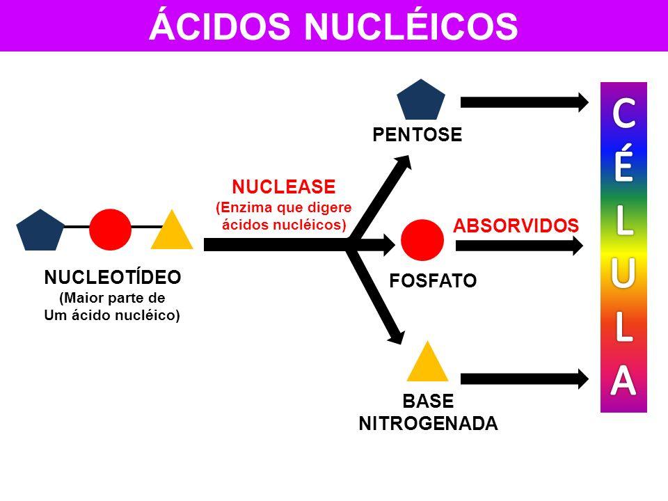 ÁCIDOS NUCLÉICOS NUCLEOTÍDEO (Maior parte de Um ácido nucléico) NUCLEASE (Enzima que digere ácidos nucléicos) FOSFATO ABSORVIDOS BASE NITROGENADA PENT