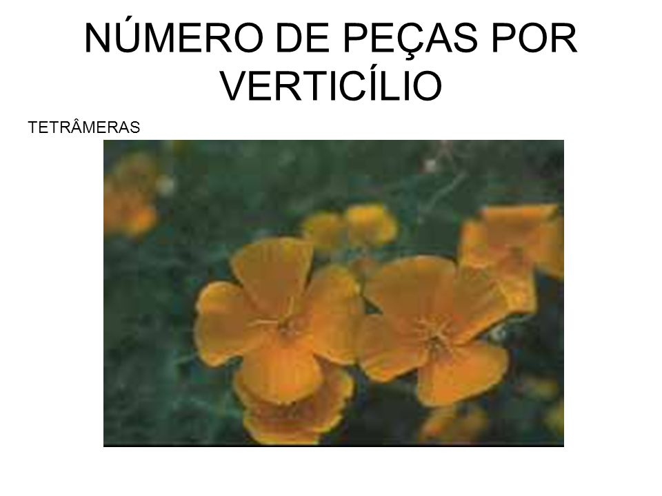 NÚMERO DE PEÇAS POR VERTICÍLIO TETRÂMERAS