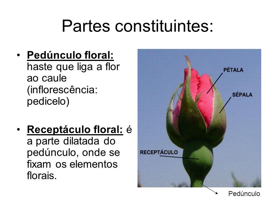 Partes constituintes: Pedúnculo floral: haste que liga a flor ao caule (inflorescência: pedicelo) Receptáculo floral: é a parte dilatada do pedúnculo,