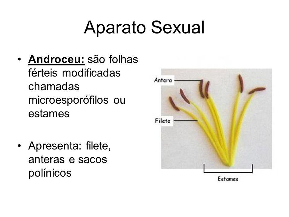 Aparato Sexual Androceu: são folhas férteis modificadas chamadas microesporófilos ou estames Apresenta: filete, anteras e sacos polínicos