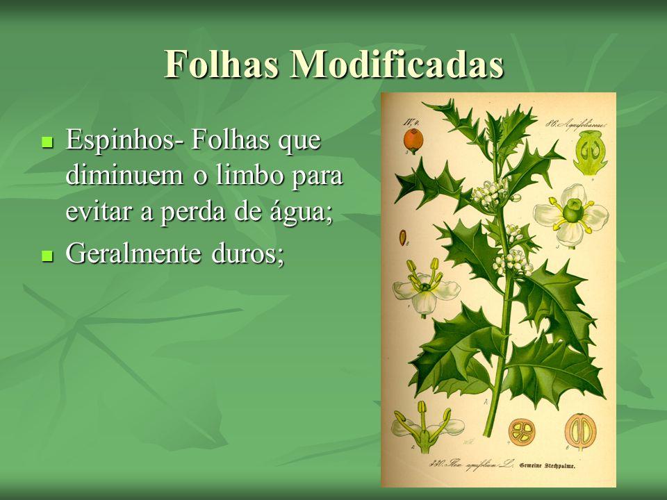 Folhas Modificadas Espinhos- Folhas que diminuem o limbo para evitar a perda de água; Espinhos- Folhas que diminuem o limbo para evitar a perda de águ