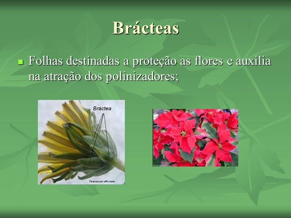 Brácteas Folhas destinadas a proteção as flores e auxilia na atração dos polinizadores; Folhas destinadas a proteção as flores e auxilia na atração do