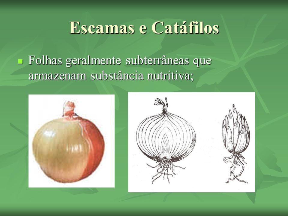 Escamas e Catáfilos Folhas geralmente subterrâneas que armazenam substância nutritiva; Folhas geralmente subterrâneas que armazenam substância nutriti