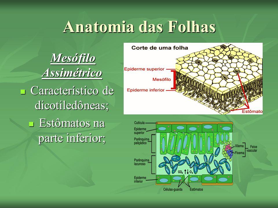 Anatomia das Folhas Mesófilo Assimétrico Mesófilo Assimétrico Característico de dicotiledôneas; Característico de dicotiledôneas; Estômatos na parte i