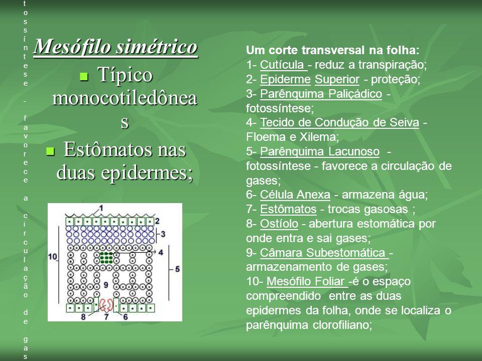Mesófilo simétrico Típico monocotiledônea s Típico monocotiledônea s Estômatos nas duas epidermes; Estômatos nas duas epidermes; Destaques Passei Corp