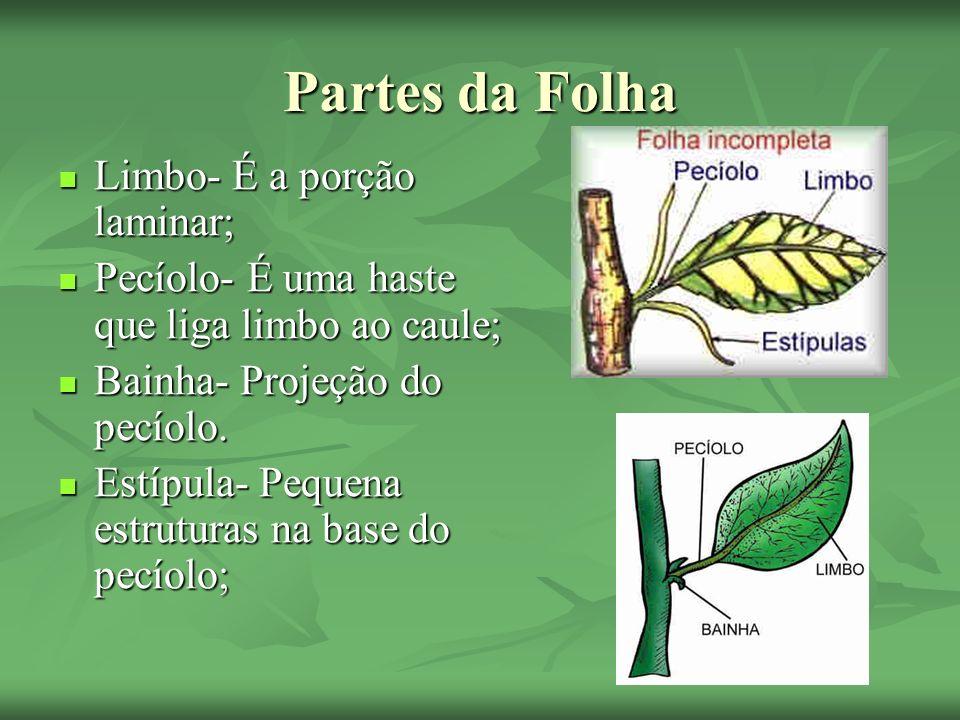 Escamas e Catáfilos Folhas geralmente subterrâneas que armazenam substância nutritiva; Folhas geralmente subterrâneas que armazenam substância nutritiva;