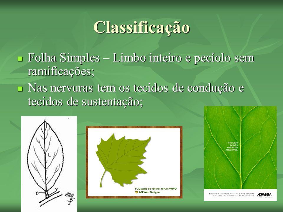 Classificação Folha Simples – Limbo inteiro e pecíolo sem ramificações; Folha Simples – Limbo inteiro e pecíolo sem ramificações; Nas nervuras tem os