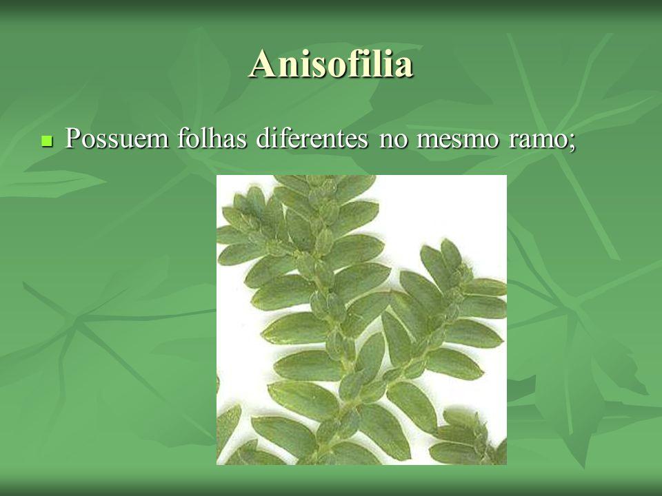 Anisofilia Possuem folhas diferentes no mesmo ramo; Possuem folhas diferentes no mesmo ramo;