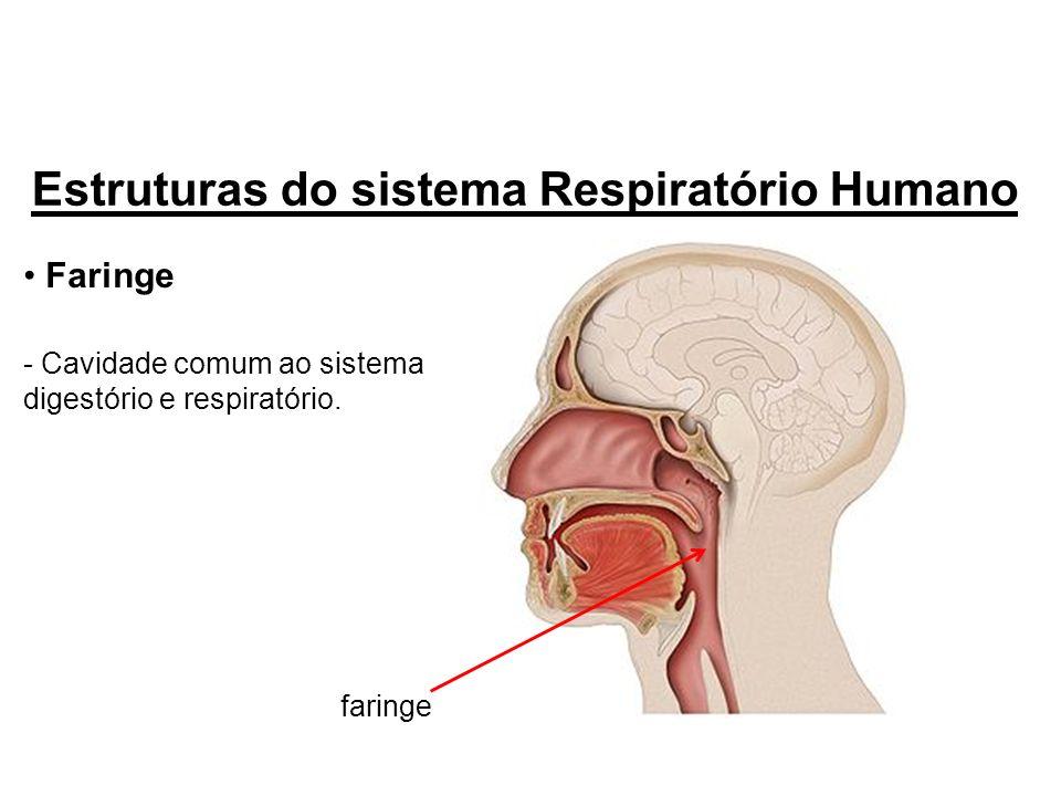 Faringe - Cavidade comum ao sistema digestório e respiratório. Estruturas do sistema Respiratório Humano faringe