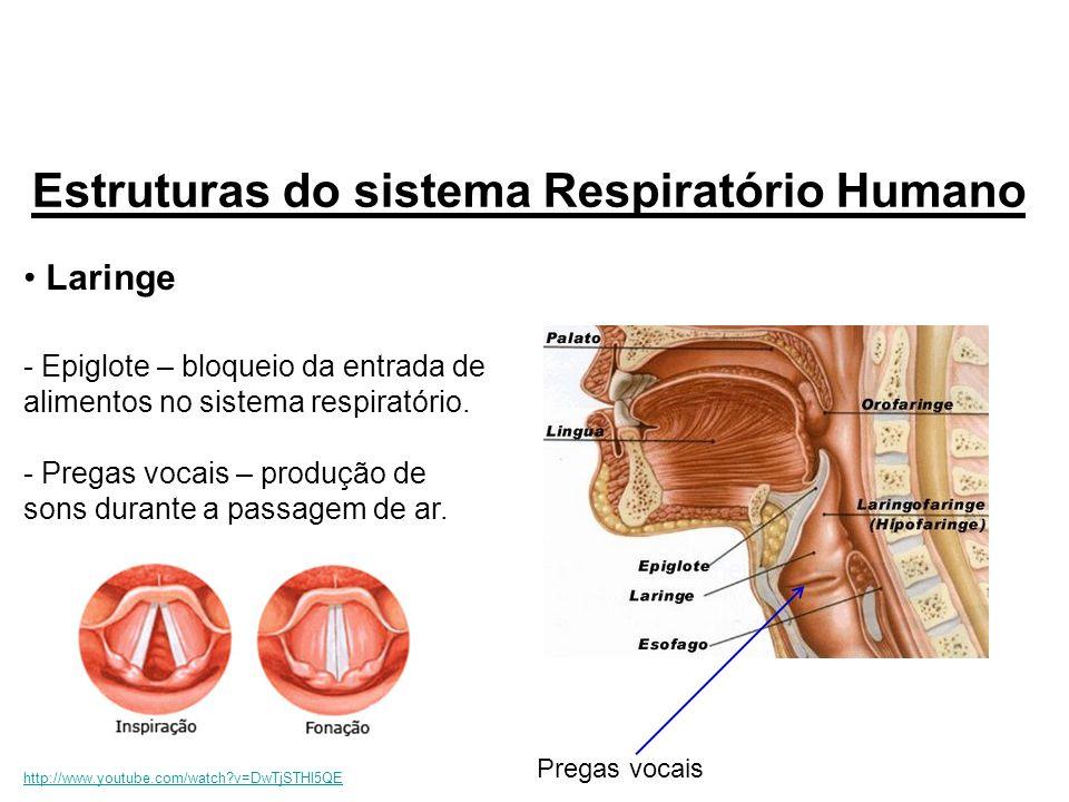 Laringe - Epiglote – bloqueio da entrada de alimentos no sistema respiratório. - Pregas vocais – produção de sons durante a passagem de ar. Estruturas