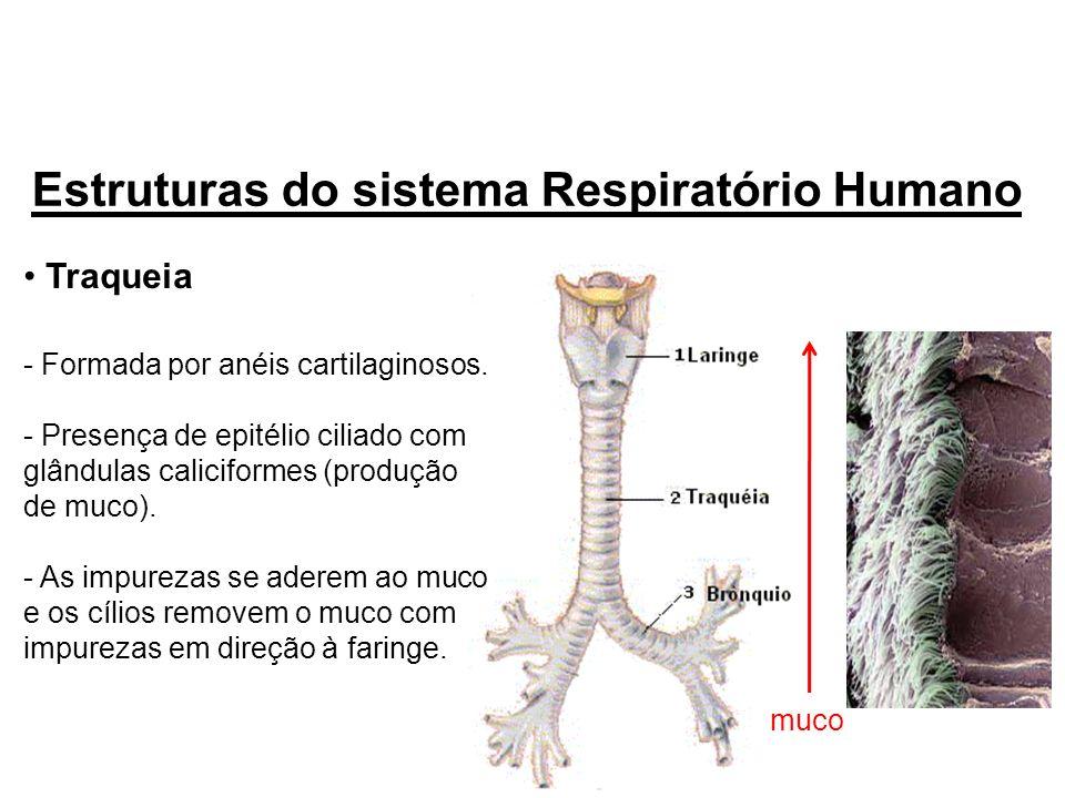 Traqueia - Formada por anéis cartilaginosos. - Presença de epitélio ciliado com glândulas caliciformes (produção de muco). - As impurezas se aderem ao