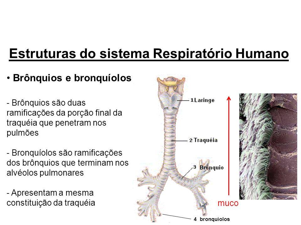 Brônquios e bronquíolos - Brônquios são duas ramificações da porção final da traquéia que penetram nos pulmões - Bronquíolos são ramificações dos brôn
