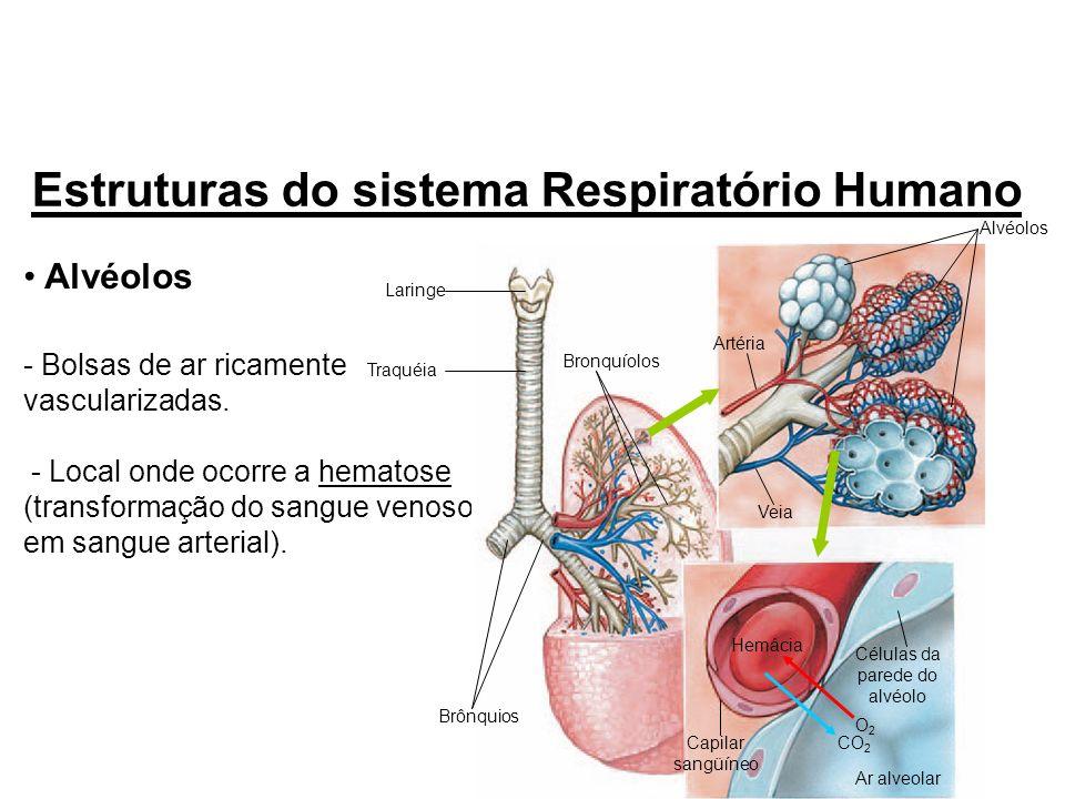 Alvéolos - Bolsas de ar ricamente vascularizadas. - Local onde ocorre a hematose (transformação do sangue venoso em sangue arterial). Estruturas do si