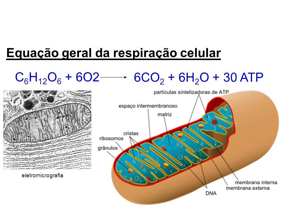 Equação geral da respiração celular C 6 H 12 O 6 + 6O2 6CO 2 + 6H 2 O + 30 ATP eletromicrografia