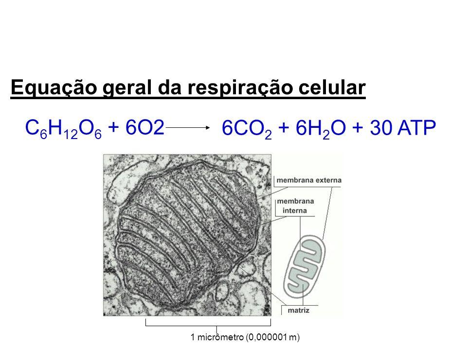Equação geral da respiração celular C 6 H 12 O 6 + 6O2 6CO 2 + 6H 2 O + 30 ATP 1 micrômetro (0,000001 m)