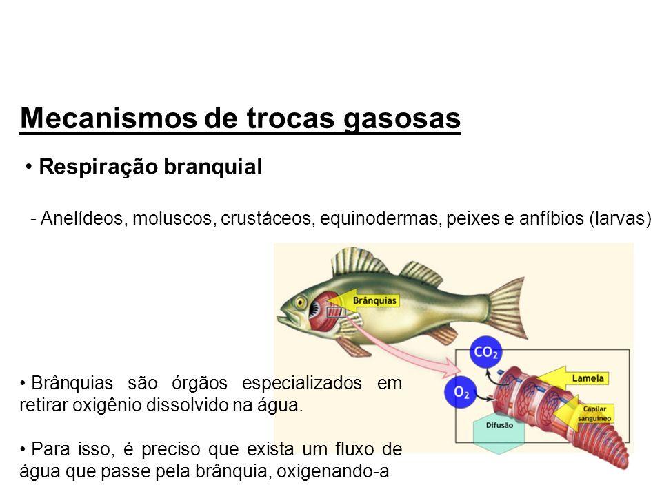 Mecanismos de trocas gasosas Respiração branquial - Anelídeos, moluscos, crustáceos, equinodermas, peixes e anfíbios (larvas) Brânquias são órgãos esp