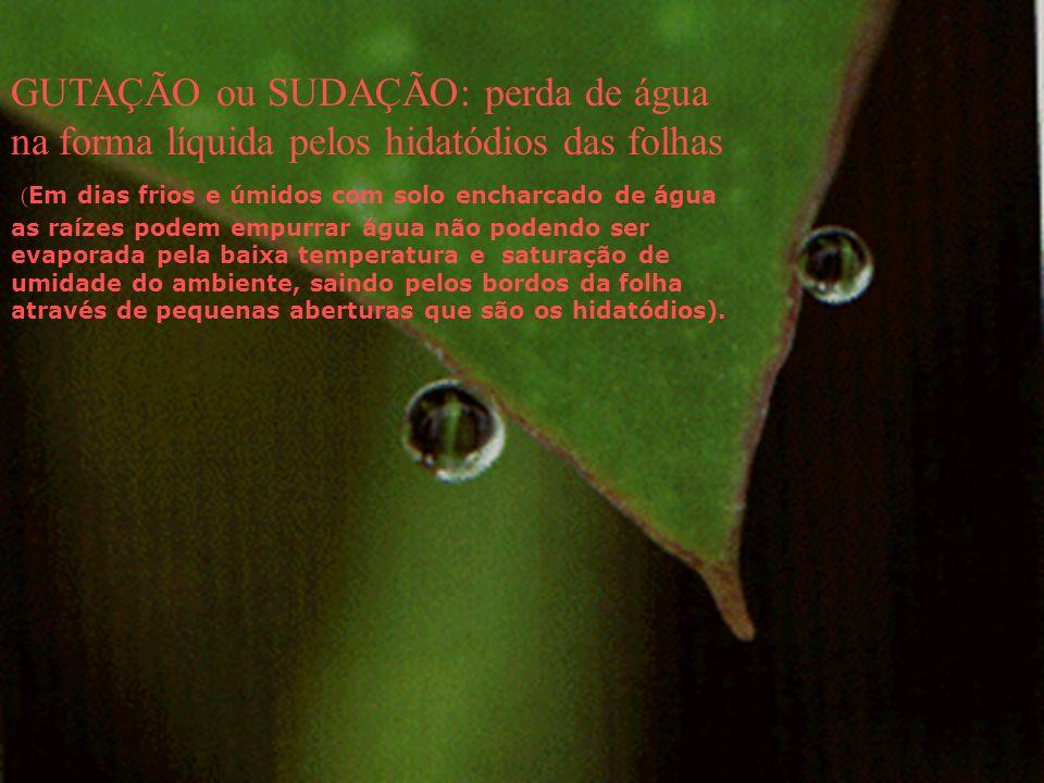 GUTAÇÃO ou SUDAÇÃO: perda de água na forma líquida pelos hidatódios das folhas ( Em dias frios e úmidos com solo encharcado de água as raízes podem em