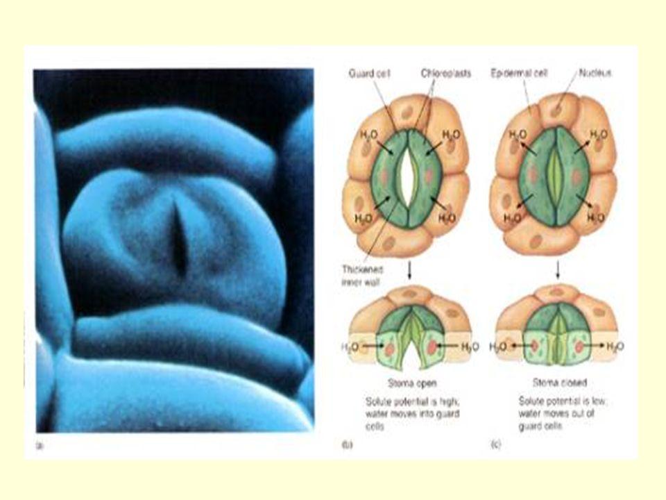 ESTÔMATOS São anexos epidérmicos das folhas constituídos por duas células-guardas ou estomáticas repletas de cloroplastos, que delimitam entre elas uma fenda chamada ostíolo.