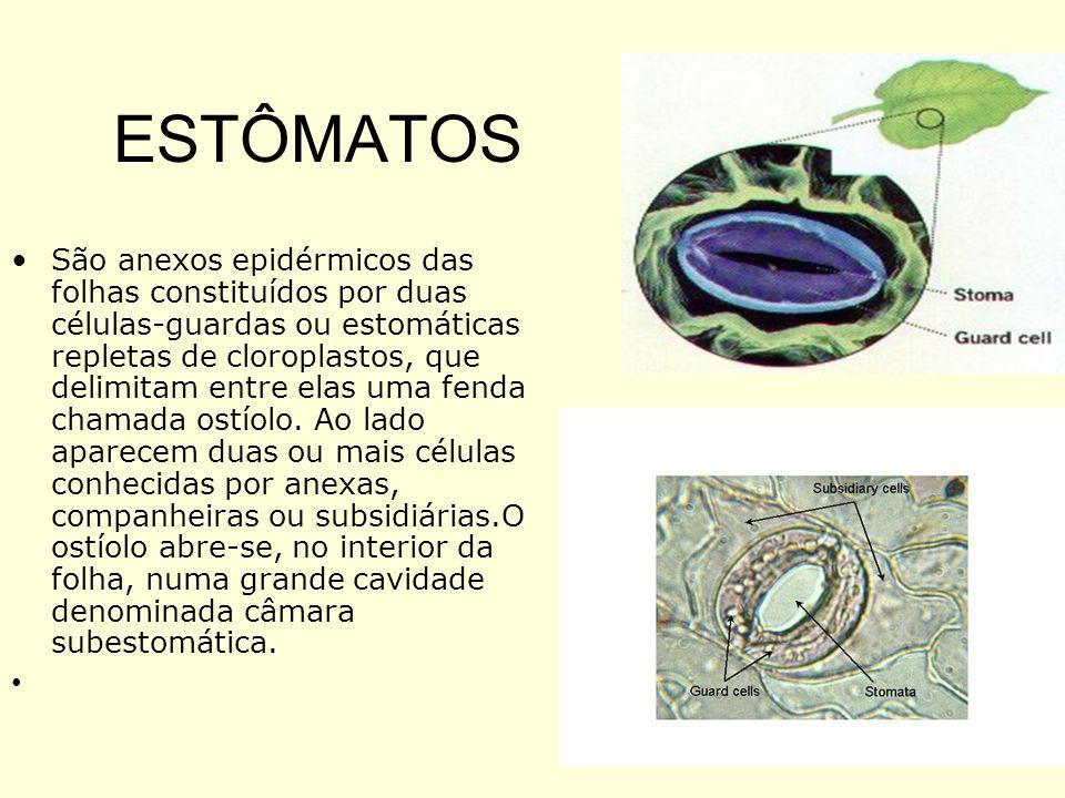 ESTÔMATOS São anexos epidérmicos das folhas constituídos por duas células-guardas ou estomáticas repletas de cloroplastos, que delimitam entre elas um