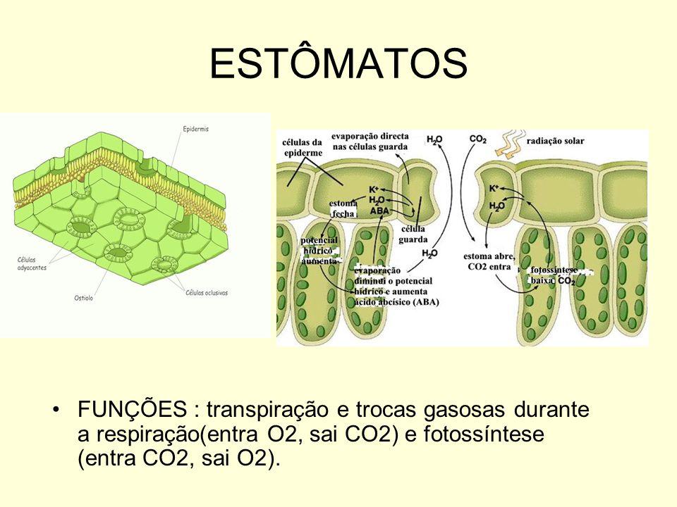 ESTÔMATOS FUNÇÕES : transpiração e trocas gasosas durante a respiração(entra O2, sai CO2) e fotossíntese (entra CO2, sai O2).