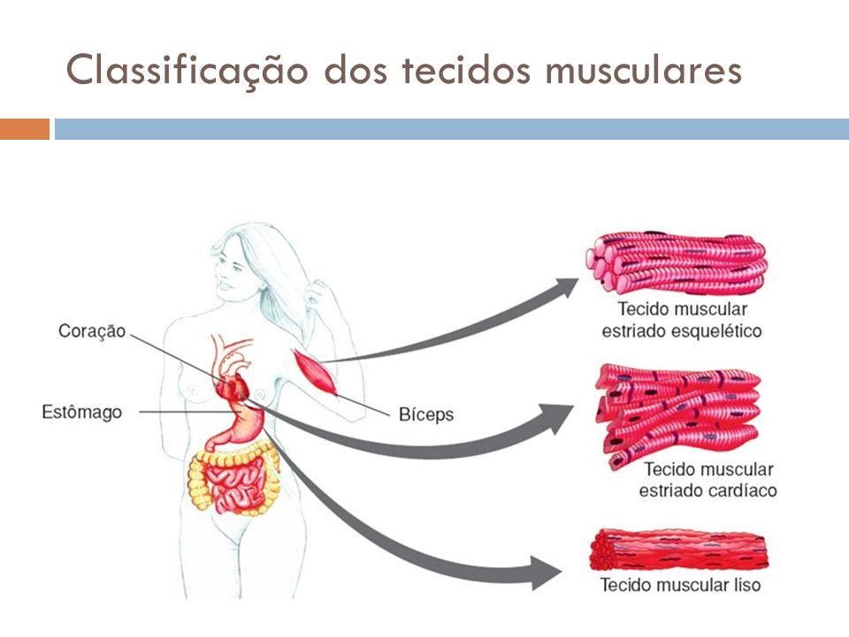 Tecido Muscular Estriado Esquelético Células fusiformes, Contração: rápida e voluntária, Rica em mitocôndrias e glicogênio, Polinucleadas com núcleos periféricos, Abundância de actina e miosina, Uma célula = fibra muscular ou MIÓCITO.