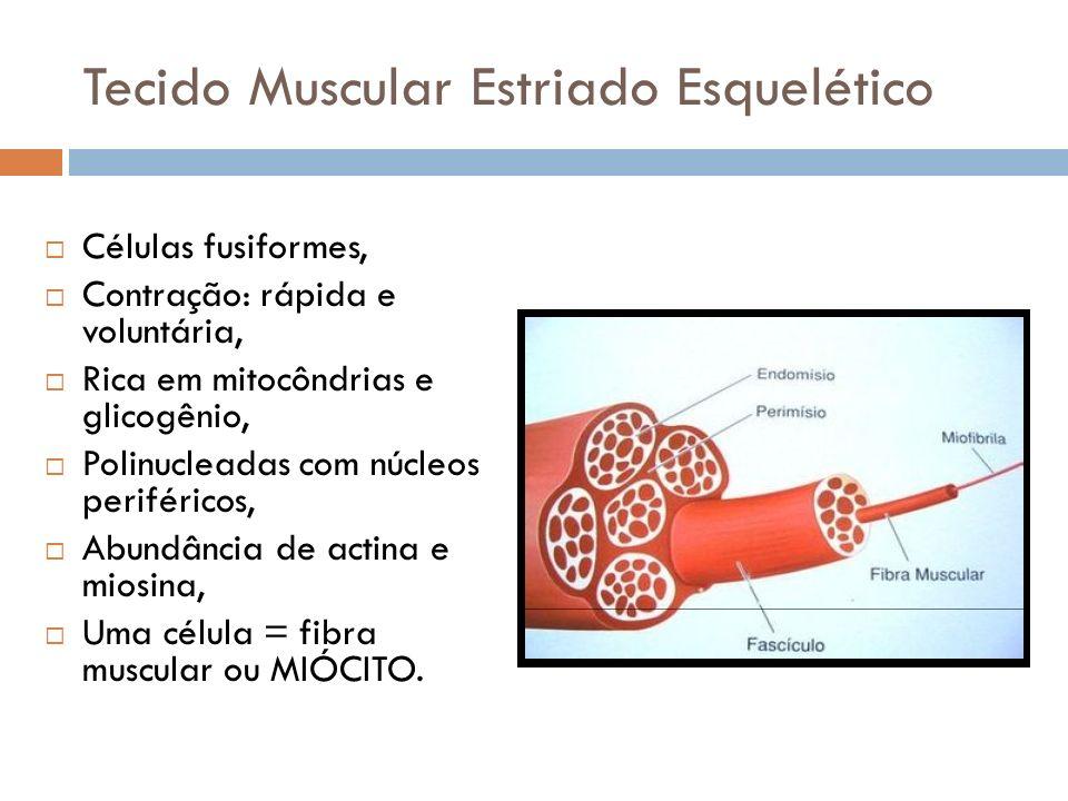 Tecido Muscular Estriado Esquelético Células fusiformes, Contração: rápida e voluntária, Rica em mitocôndrias e glicogênio, Polinucleadas com núcleos
