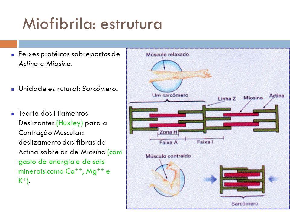 Miofibrila: estrutura Feixes protéicos sobrepostos de Actina e Miosina. Unidade estrutural: Sarcômero. Teoria dos Filamentos Deslizantes (Huxley) para
