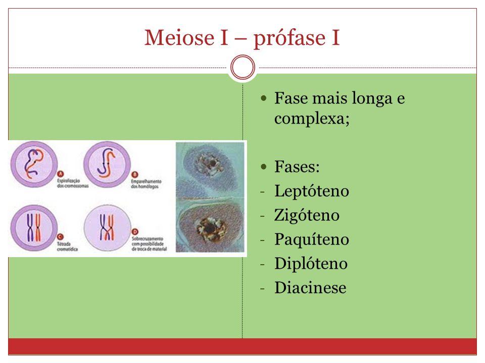 Meiose I – prófase I Fase mais longa e complexa; Fases: - Leptóteno - Zigóteno - Paquíteno - Diplóteno - Diacinese