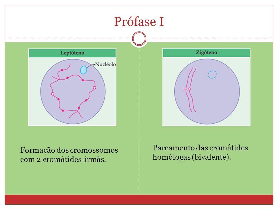Prófase I Pareamento das cromátides homólogas (bivalente). Formação dos cromossomos com 2 cromátides-irmãs.