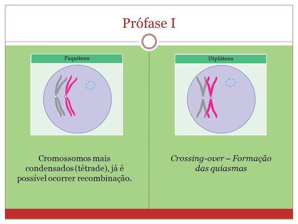 Prófase I Cromossomos mais condensados (tétrade), já é possível ocorrer recombinação. Crossing-over – Formação das quiasmas