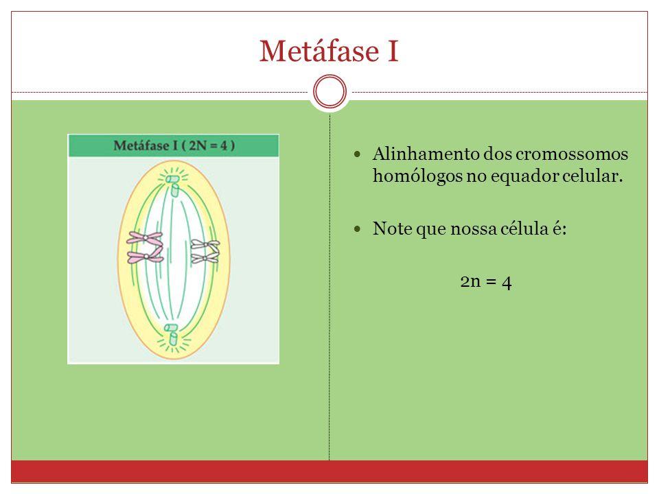 Metáfase I Alinhamento dos cromossomos homólogos no equador celular. Note que nossa célula é: 2n = 4
