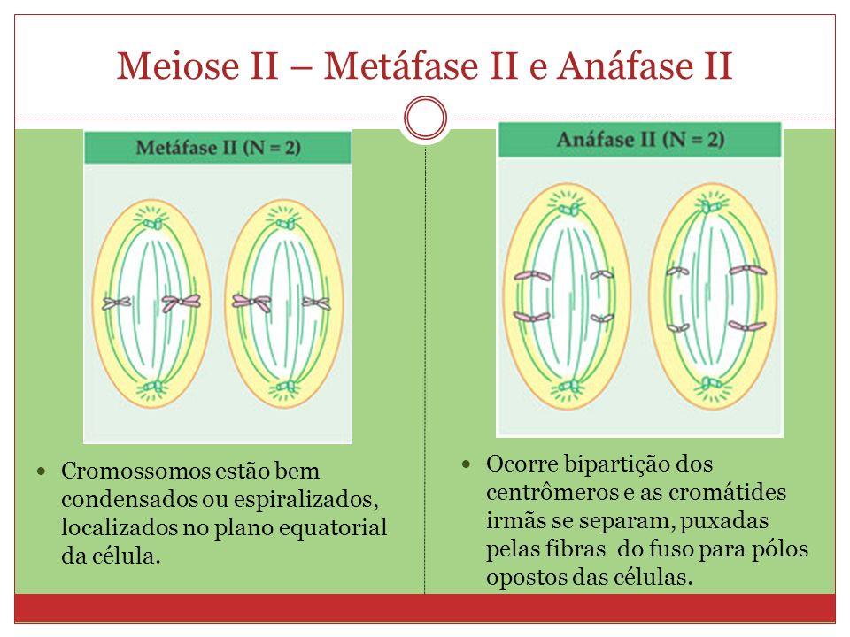 Meiose II – Metáfase II e Anáfase II Cromossomos estão bem condensados ou espiralizados, localizados no plano equatorial da célula. Ocorre bipartição