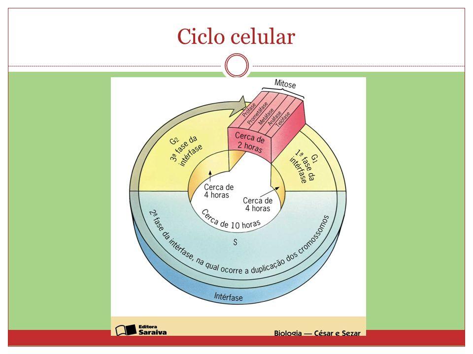 Fases da mitose - Prófase Migração dos pares de centríolos para os polos da célula; Início da condensação dos cromossomos Desaparecimento do nucléolo; Ruptura do envoltório nuclear; Formação do fuso mitótico.